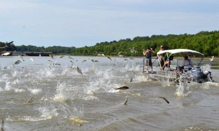 La pêche aux carpes volantes