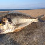 Comment pêcher la dorade au leurre souple