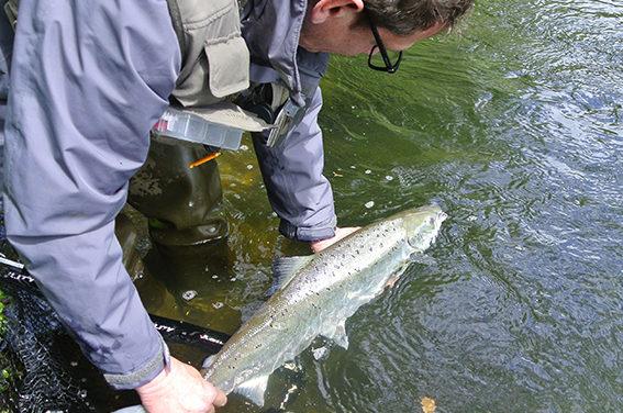 Pêche du saumon en no kill