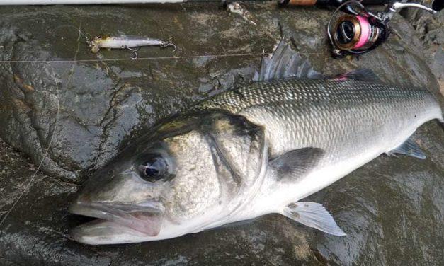 La réglementation sur la pêche au bar