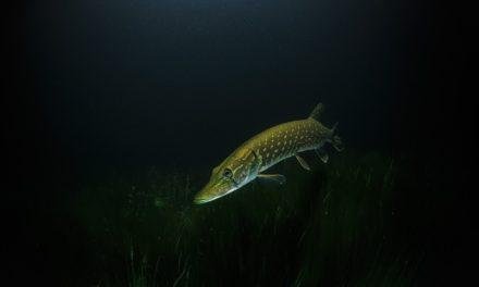 Conseils pour réussir la pêche au brochet